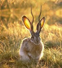 jackolope